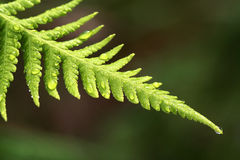 有水下落的美丽的蕨叶子 免版税图库摄影
