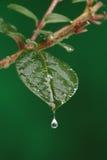 有水下落的绿色新鲜的叶子 免版税库存照片