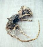 有死了在灰鼠 免版税库存照片