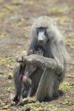 有年轻人的橄榄色的狒狒(狒狒anubis)母亲 免版税库存图片