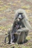 有年轻人的橄榄色的狒狒(狒狒anubis)母亲 免版税库存照片