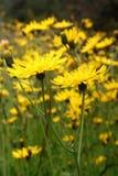 有水兰属的植物花的草甸 免版税库存图片
