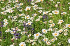 有延命菊和salvia的野花草甸 免版税库存照片