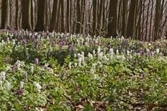 有紫堇属花的森林在春天,巴德伊堡,下萨克森州 免版税库存图片