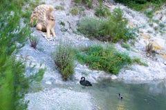 有黑天鹅和鸭子的Gelendzhik池塘 库存图片