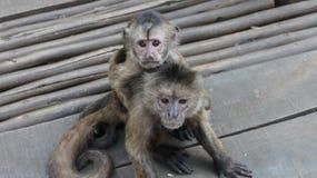 有婴孩后面的猴子妈妈 库存照片