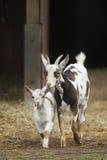 有婴孩的山羊母亲 免版税库存图片