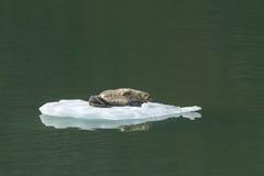 有婴孩的斑海豹冰山的在特雷西胳膊阿拉斯加 免版税图库摄影