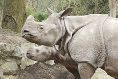 有婴孩的犀牛母亲 图库摄影