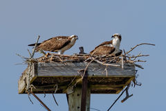 有婴孩的白鹭的羽毛父母巢的 库存图片