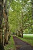 有150岁美国梧桐树的胡同在秋天 库存图片