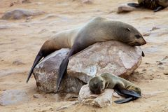 有年轻布朗海狗Arctocephalus pusillus的女性 免版税库存照片