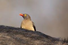 有寻找昆虫的红开帐单的黄牛啄木鸟的Cape Buffalo 库存图片