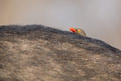 有寻找昆虫的红开帐单的黄牛啄木鸟的Cape Buffalo 免版税库存照片