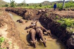 有水牛的农夫在印度尼西亚 免版税库存照片