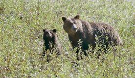 有崽的北美灰熊母亲 免版税库存图片