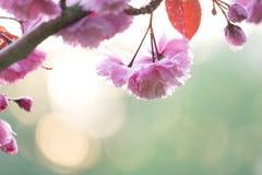 有水滴的桃红色樱桃树开花 免版税库存照片