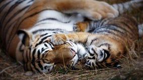 有崽的母老虎 老虎母亲和崽 免版税库存照片