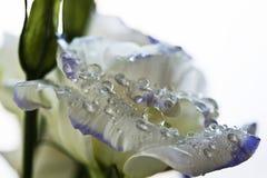 有水滴的珍珠/丁香玫瑰色花瓣。特写镜头 免版税图库摄影