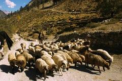 有他的羊羔的牧羊人在山 免版税库存图片
