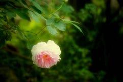 有水滴的美丽的罗斯  免版税库存照片