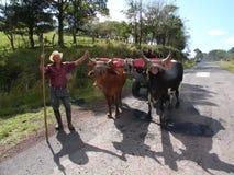 有他的黄牛的哥斯达黎加BOYERO 库存图片