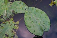 有水滴的Waterlily叶子  免版税图库摄影