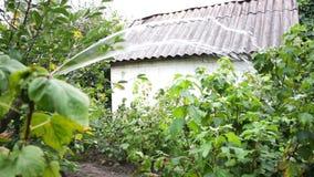 有水管浇灌的庭园花木的女性手 股票视频