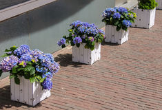 有紫罗兰的木箱开花在边路的八仙花属 免版税库存照片