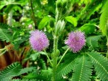 有紫罗兰色开花的异乎寻常的植物 免版税库存照片