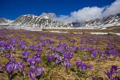 有紫罗兰色番红花开花的园地Imperatore 库存图片