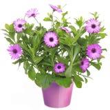 有紫罗兰色非洲雏菊花的罐 库存图片