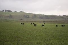 有绵羊的澳大利亚绿色草甸 图库摄影