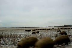 有绵羊的牧羊人 库存图片