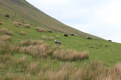 有绵羊的草原 库存图片