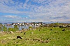 有绵羊的草甸在HundvÃ¥g,有后边Bjørnøy lysefjord和海岛的  挪威斯塔万格 库存照片
