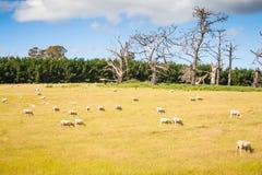 有绵羊的2典型的澳大利亚小牧场 图库摄影