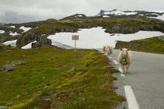 有绵羊的绿色和多雪的草甸在路 库存照片