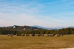 有绵羊的Zlatibor草甸 库存图片