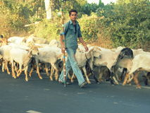 有绵羊群的一个男孩  库存图片