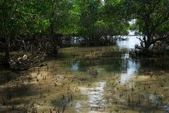 有年轻美洲红树树的沿海地带在低潮 免版税图库摄影