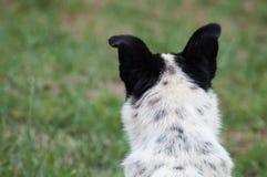 有黑耳朵的狗头从后面 库存图片