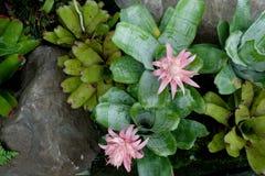 有绿色叶子和石背景的桃红色缸植物 库存图片