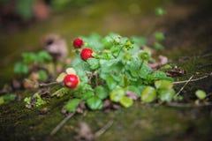 有绿色叶子和红色的野草莓植物 免版税图库摄影