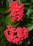有绿色叶子的大新鲜的红色Ixora花厂 免版税库存图片