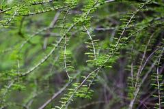 有绿色叶子的春天枝杈 库存图片