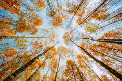 有黄色叶子的桦树机盖 库存照片