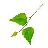 有绿色叶子的桦树枝杈 免版税图库摄影
