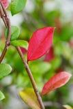 有绿色叶子的秋天红色叶子 免版税库存图片