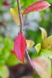 有绿色叶子的秋天红色叶子 库存照片